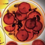 Grapefruit Liqueur Recipe. Green Apple Variation